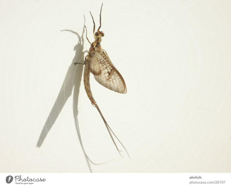 Eintagsfliege auf'm Balkon Tier Insekt