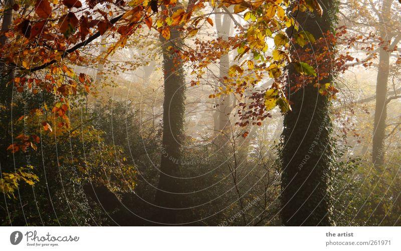 misty trees Natur Pflanze Herbst Nebel Baum Sträucher Efeu Wald Farbfoto Außenaufnahme Menschenleer