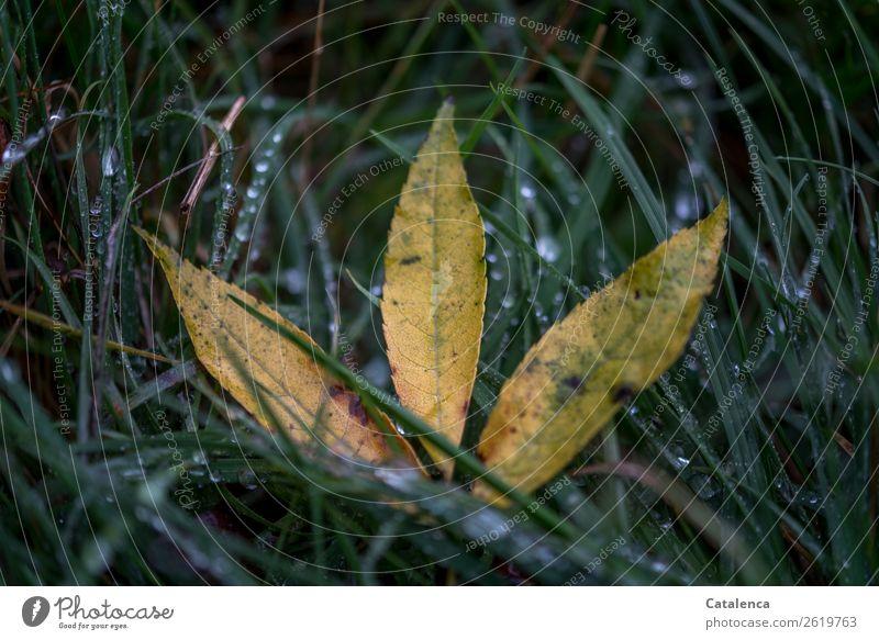 Blätter im nassen Gras Natur Pflanze Wassertropfen Herbst schlechtes Wetter Regen Blatt Ebereschenblätter Garten Wiese Feld glänzend liegen natürlich gelb grün