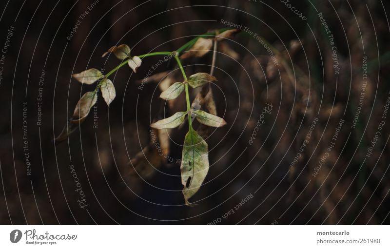 Trist... Umwelt Natur Pflanze Winter schlechtes Wetter Dürre Sträucher Blatt Grünpflanze Wildpflanze Garten Park alt dünn authentisch einfach hässlich nah