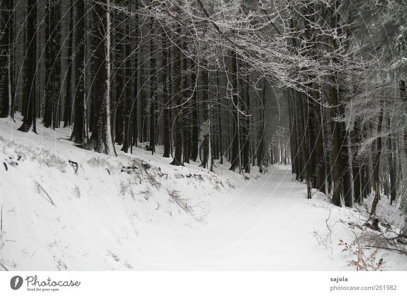 baumloben | durch den wald Umwelt Natur Landschaft Pflanze Winter Schnee Baum Wald stehen weiß Schneelandschaft Farbfoto Schwarzweißfoto Außenaufnahme