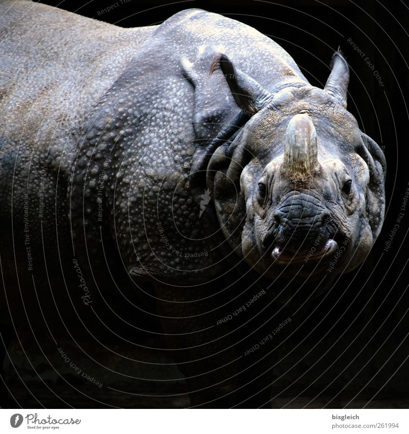 Nashorn Tier schwarz grau wild stehen bedrohlich Zoo dick Aggression gigantisch