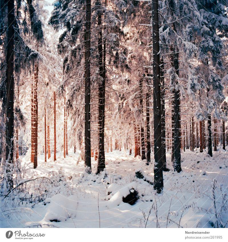 Spätwinterlich t Natur Baum Pflanze Winter Einsamkeit ruhig Wald Erholung Leben Landschaft Schnee Eis elegant glänzend frisch ästhetisch