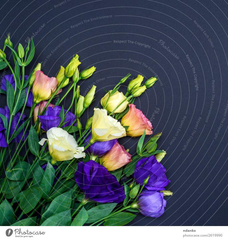 Blumen Eustoma Lisianthus Feste & Feiern Valentinstag Muttertag Blatt Blüte Blühend natürlich blau grün rosa schwarz weiß Hintergrund Beautyfotografie