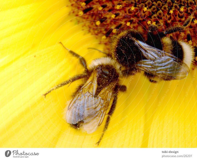 verliebte Hummel Sonnenblume Tier Insekt Blume Makroaufnahme Ernährung Kleinstlebewesen