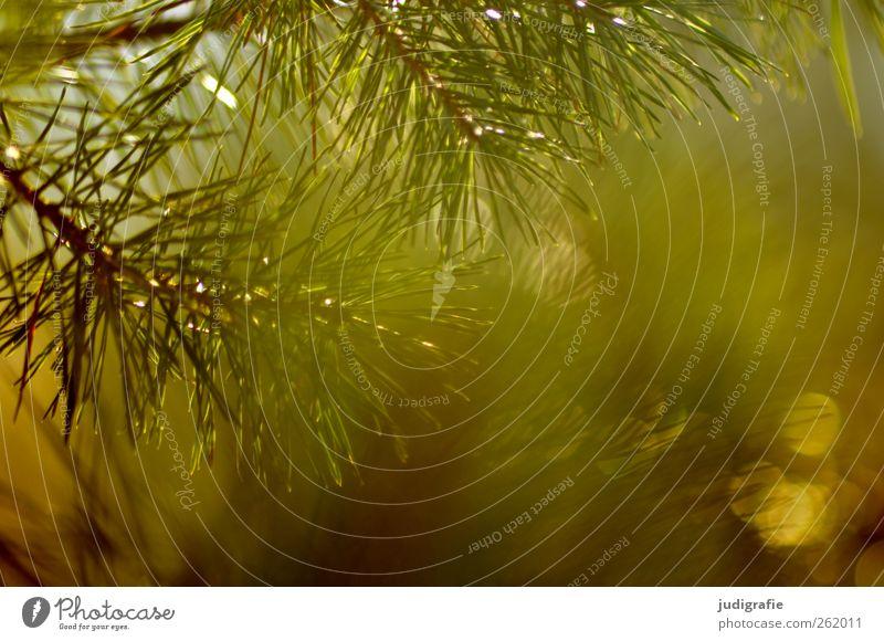 Wald Natur Baum Pflanze Wald Umwelt Landschaft Wärme träumen Stimmung Wachstum leuchten Spitze stachelig Kiefer Tannennadel Wildpflanze