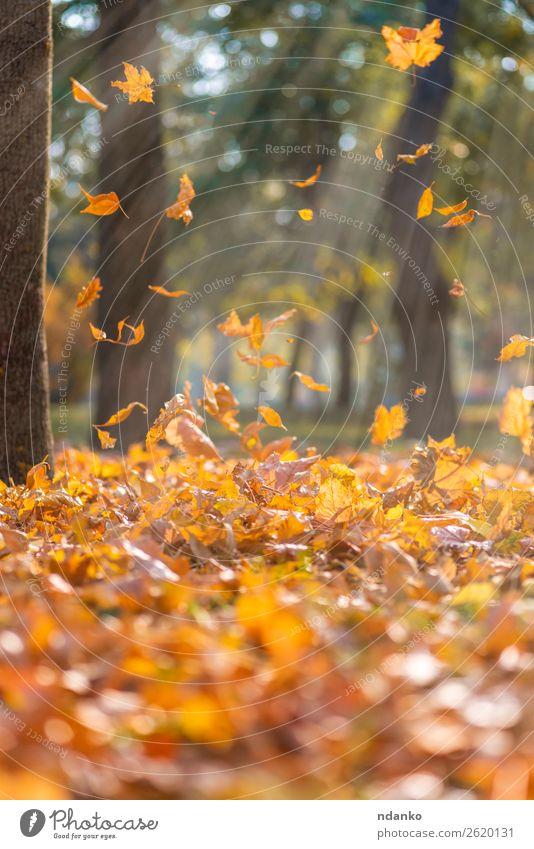 fallende trockene gelbe Ahornblätter Sonne Garten Umwelt Natur Landschaft Pflanze Herbst Baum Blatt Park Wald fliegen hell natürlich braun gold grün Farbe