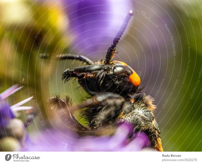 Japanische Riesenhornisse sammelt Blütenpollen Sommer Garten Umwelt Natur Pflanze Tier Blume Blatt Wildtier Biene Tiergesicht 1 gigantisch groß klein natürlich