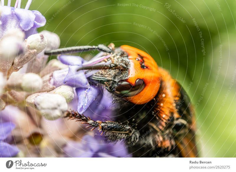 Japanische Riesenhornisse sammelt Blütenpollen Sommer Garten Umwelt Natur Pflanze Tier Blume Wildtier Biene Tiergesicht 1 Essen Fressen füttern groß natürlich