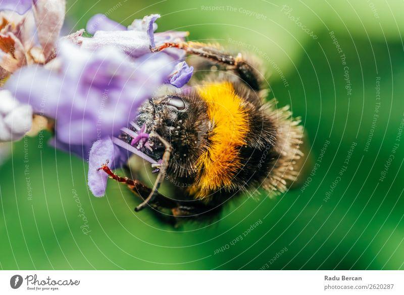 Hummel (Bombus Terrestris) Sammelt Blütenpollen Sommer Garten Umwelt Natur Pflanze Tier Blume Wiese Wildtier Biene Tiergesicht 1 schön klein nah natürlich wild