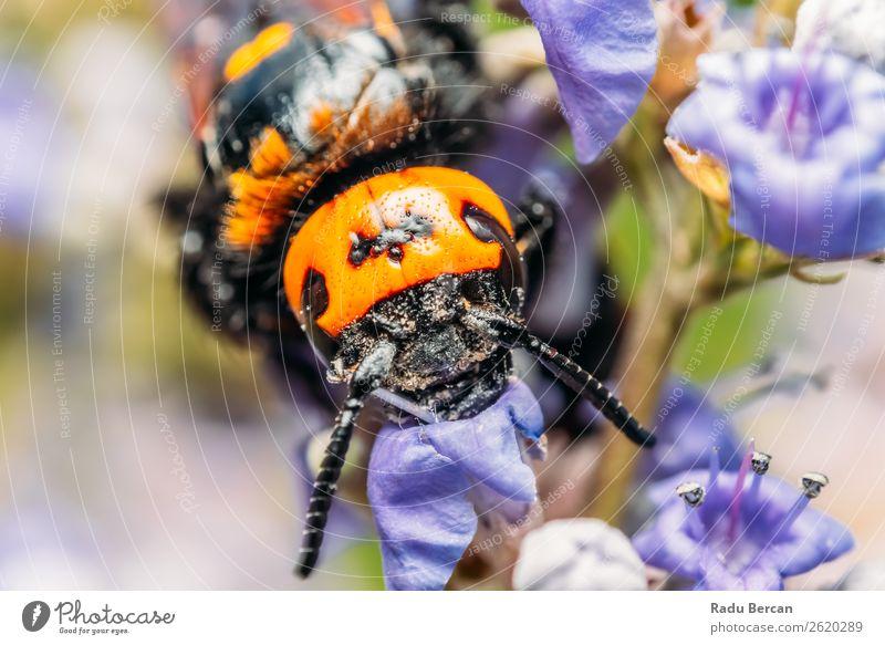 Japanische Riesenhornisse sammelt Blütenpollen Sommer Garten Umwelt Natur Pflanze Tier Blume Wildtier Biene Tiergesicht 1 groß natürlich wild mehrfarbig gelb