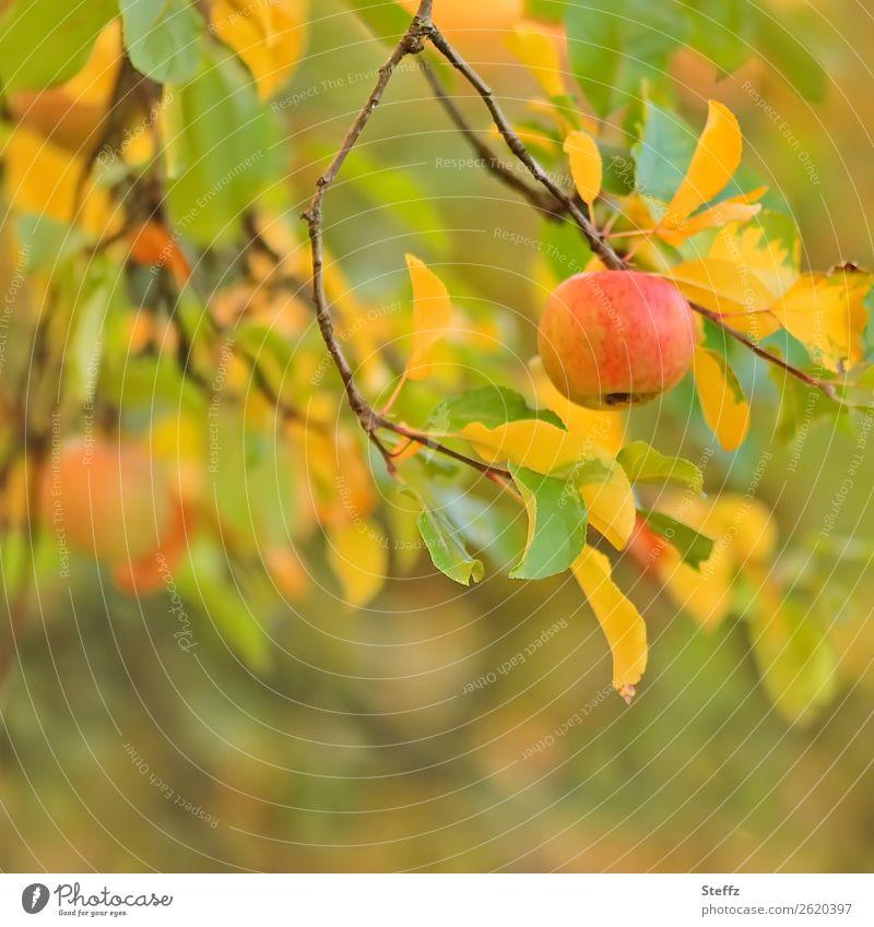 Ein Apfel am Tag III Natur Gesunde Ernährung schön grün Gesundheit Lebensmittel Herbst gelb Garten orange Frucht lecker Zweig Bioprodukte Vegetarische Ernährung