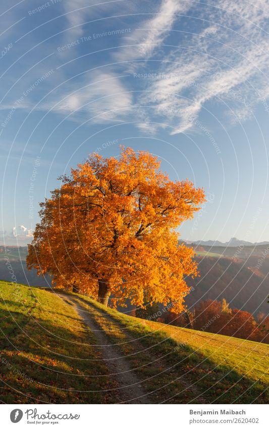 Herbstlicher Baum in der Abendsonne Ausflug Freiheit wandern Umwelt Natur Pflanze Himmel Klima Schönes Wetter Hügel Wege & Pfade gelb gold Einsamkeit Farbe