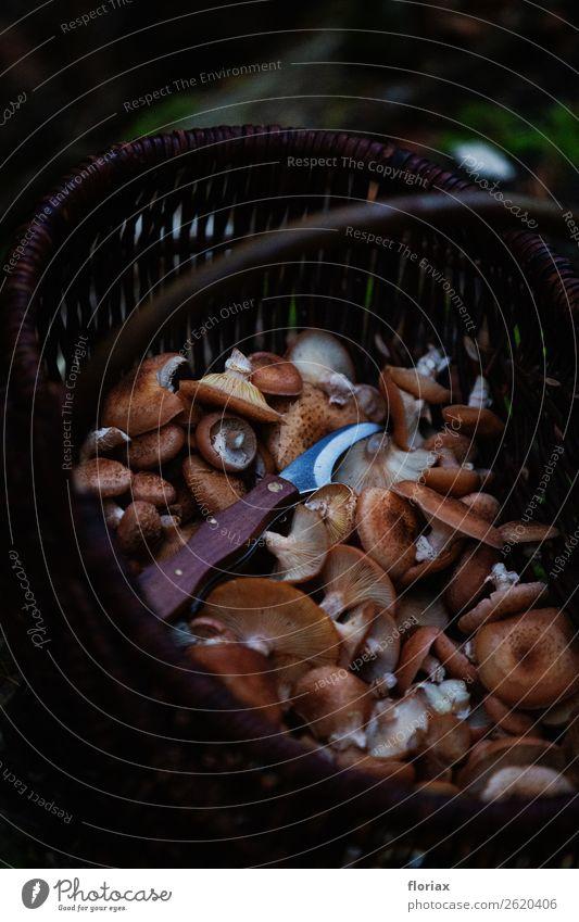 Hallimasch in Pilzkorb Lebensmittel Ernährung Bioprodukte Vegetarische Ernährung Freizeit & Hobby Umwelt Natur Tier Herbst Pflanze Nutzpflanze entdecken