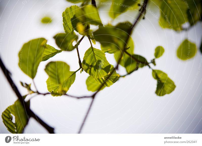 einatmen Umwelt Natur Luft Himmel Frühling Sommer Schönes Wetter Pflanze Blatt Wildpflanze Erlen Zweige u. Äste leuchten Wachstum frisch blau grün Optimismus