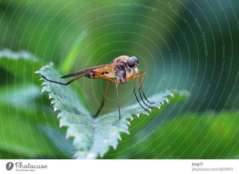 Fliege auf einem Blatt Nahaufnahme Makroaufnahme Insekt Makro Tier Natur Farbfoto Tierporträt