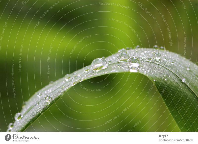 Wassertropfen auf Grashalm Makro & Nahaufnahmen Natur Nahaufnahme Grashalm mit Wassertropfen Pflanze Farbfoto Makroaufnahme