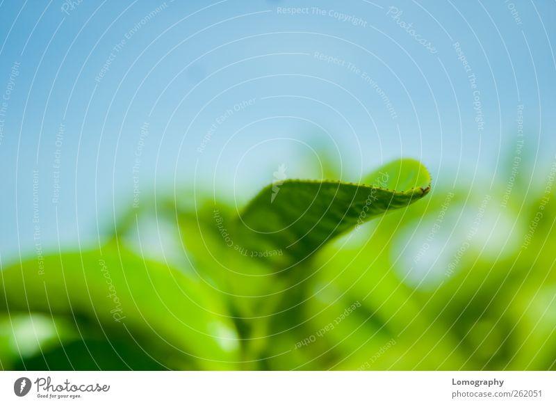 Teeblatt Frühstück Heißgetränk Schwarzer Tee Grüner Tee Früchtetee Ferien & Urlaub & Reisen Umwelt Natur Himmel Wolkenloser Himmel Pflanze Blatt Teepflanze