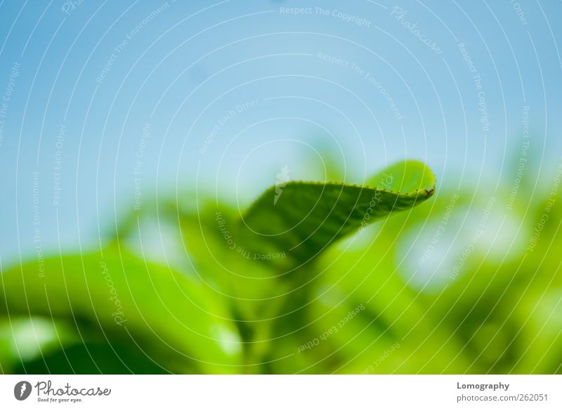 Teeblatt Himmel Natur Ferien & Urlaub & Reisen Pflanze blau grün Blatt Umwelt genießen Fernweh Frühstück Wolkenloser Himmel Teepflanze Frühlingsgefühle