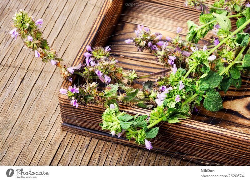 Nepeta,Heilkräuter und Kräuterkunde Kraut Kräuterbuch Medizin medizinisch Pflanze natürlich Gesundheit grün Natur Blume frisch Blatt Behandlung melliferös