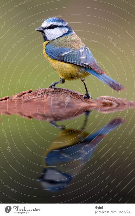Hübsche Titte mit blauem Kopf schön Leben Winter Garten Spiegel Natur Tier Wildtier Vogel klein wild gelb grün weiß Tierwelt Schnabel Singvogel Ast Feder