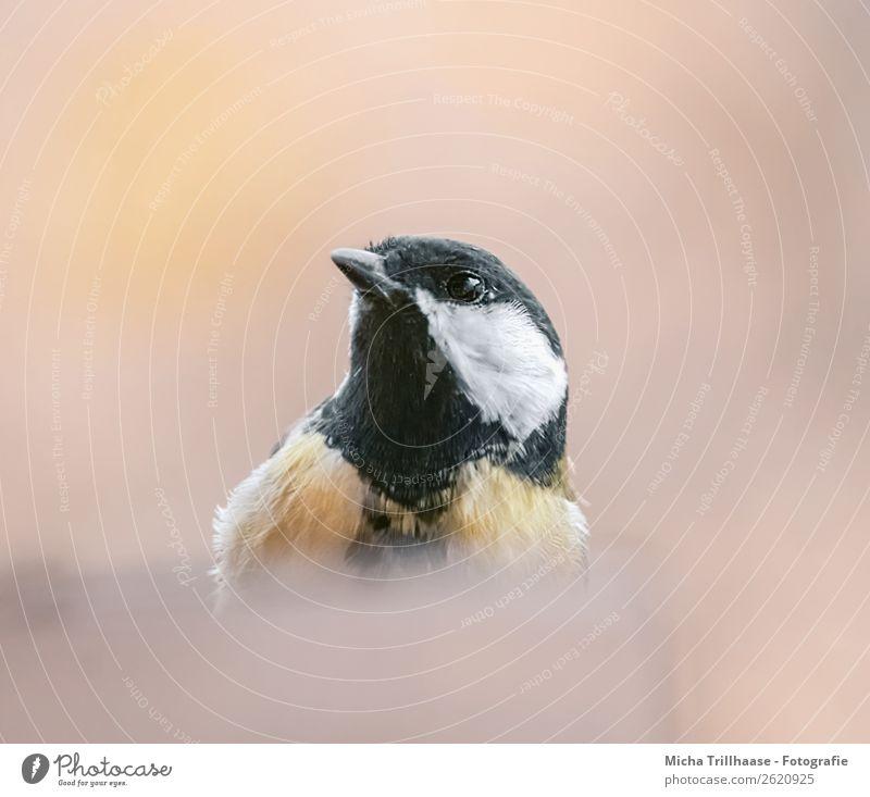Neugierige Meise Natur Tier Sonnenlicht Schönes Wetter Wildtier Vogel Tiergesicht Flügel Meisen Kohlmeise Schnabel Metallfeder Feder Auge 1 beobachten Blick nah
