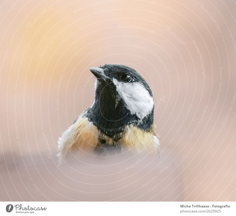 Neugierige Meise Natur weiß Tier schwarz gelb Auge natürlich orange Vogel Wildtier Feder Schönes Wetter Flügel beobachten Metallfeder