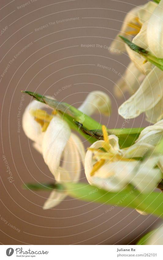 Abschied | Tulpen alt Wasser weiß grün schön Pflanze Blume Blatt Einsamkeit gelb Tod Wiese Garten Frühling Klima ästhetisch