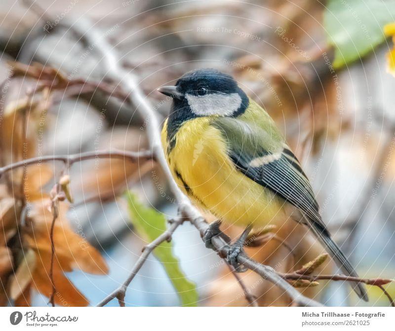 Meise im Herbstlaub Natur Tier Sonnenlicht Schönes Wetter Baum Blatt Vogel Tiergesicht Flügel Krallen Schnabel Auge Metallfeder Feder Meisen Kohlmeise 1