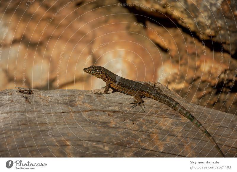 Kleiner Drache auf Sa Dragonera, Mallorca, Spanien Natur Pflanze Landschaft Tier Umwelt Wildtier Umweltschutz nachhaltig Tiergesicht Umweltverschmutzung
