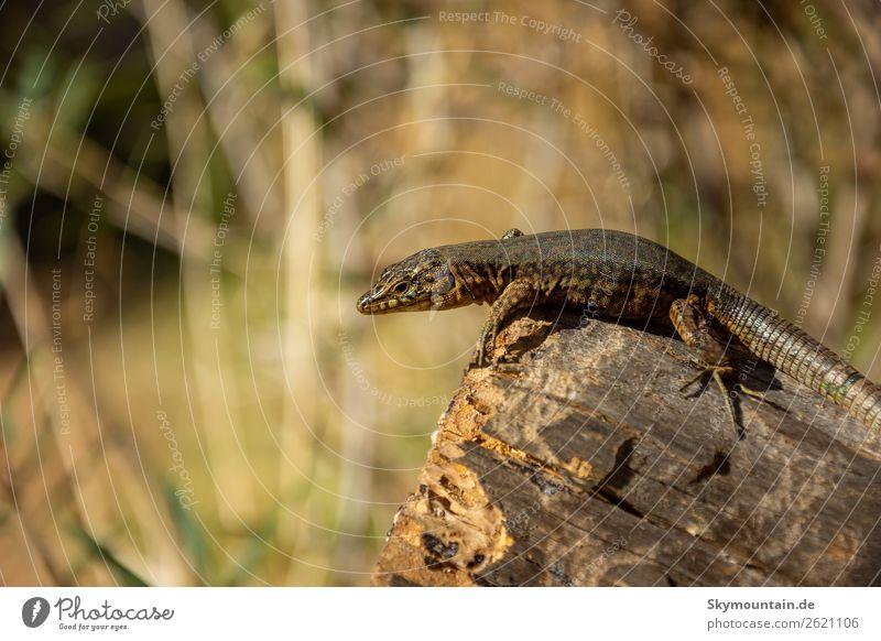 Kleiner Drache auf Sa Dragonera, Mallorca Natur Pflanze Landschaft Tier Berge u. Gebirge Umwelt Felsen Wildtier Gipfel Umweltschutz nachhaltig