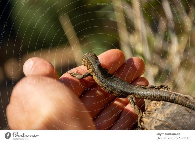 Im Einklang mit der Natur! Eidechsen auf Sa Dragonera, Mallorca Sommer Pflanze Landschaft Tier Berge u. Gebirge Umwelt Felsen Wetter Wildtier Klima Hügel