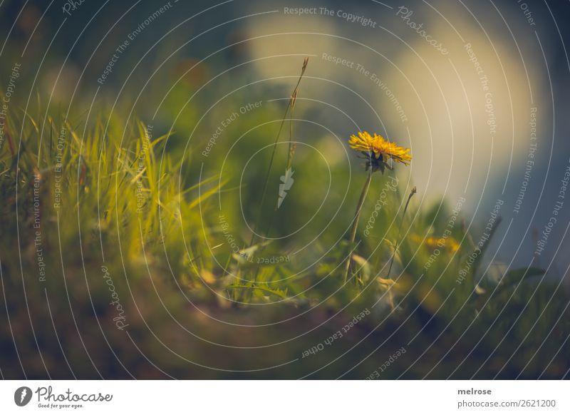 Löwenzahn im Gras Lebensmittel für Honig Natur Pflanze Erde Sonnenlicht Sommer Schönes Wetter Blume Blüte Wildpflanze Korbblütengewächs Blütenstiel Wiese