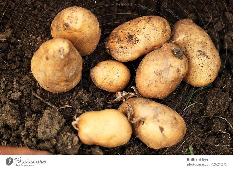 Ausgegrabene Kartoffeln Ernährung Natur Erde Feld dreckig groß klein natürlich oben braun Landwirtschaft Graben Ernte reif Aussaat Außenaufnahme