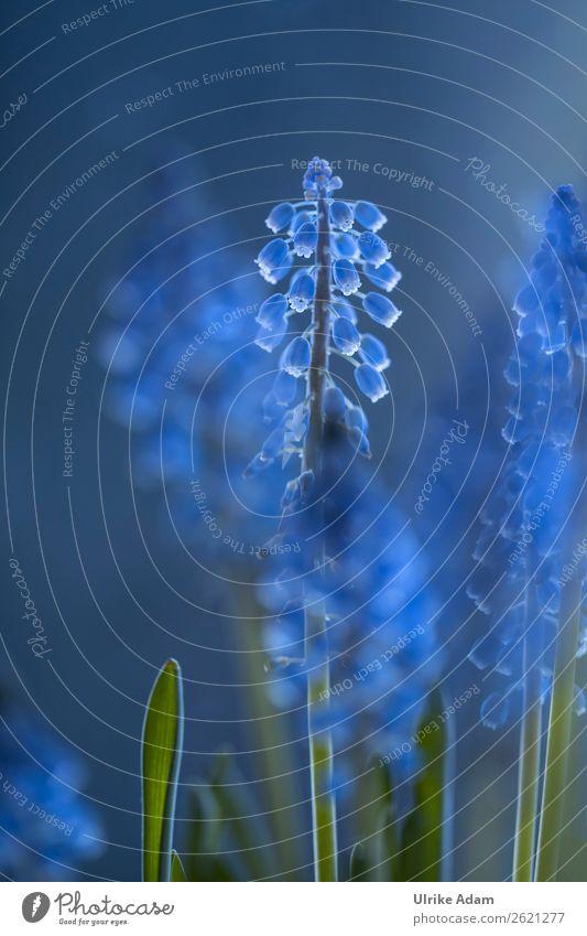 Traubenhyazinthen im Licht - Natur und Blumen Design Wellness Leben harmonisch Wohlgefühl Meditation Spa Schwimmbad Dekoration & Verzierung Tapete Bild