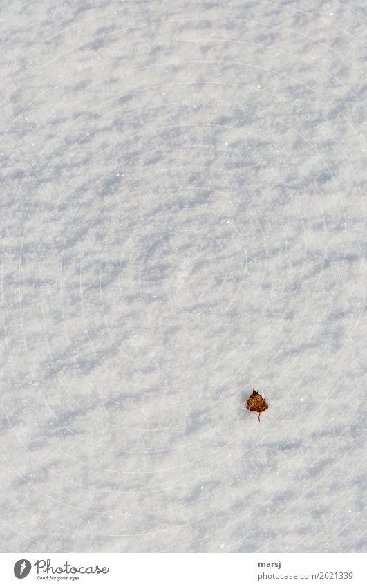 Herbsliches Überbleibsel harmonisch Natur Herbst Winter Schnee Blatt Birkenblätter liegen außergewöhnlich authentisch einfach natürlich braun weiß Einsamkeit