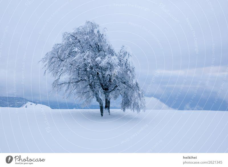 Einsamer, verschneiter Baum im Abendlicht Buche einsam weiß Winter Schnee Natur kalt Menschenleer Außenaufnahme Frost Eis Farbfoto Landschaft Tag Umwelt Pflanze
