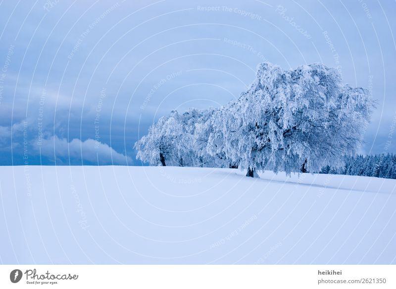 Verschneite Buchen, Schauinsland bei Freiburg, Schwarzwald Ferien & Urlaub & Reisen Natur blau Landschaft weiß Baum ruhig Wald Winter Ferne Berge u. Gebirge