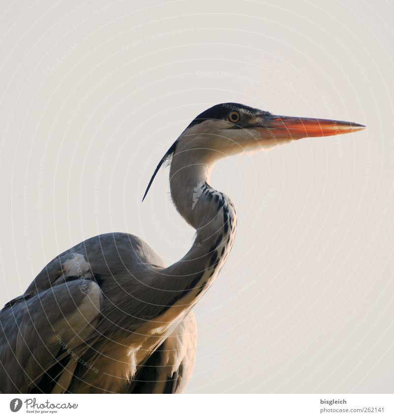 aufmerksam Tier grau Vogel Feder Zoo Wachsamkeit Schnabel Reiher