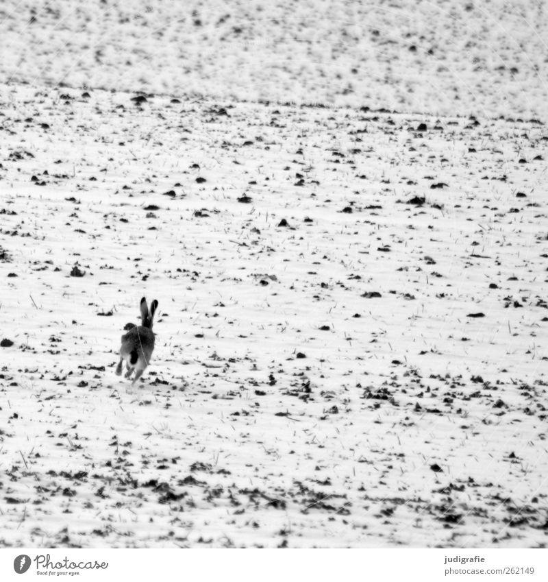 Angsthase Umwelt Natur Landschaft Tier Winter Schnee Feld Hase & Kaninchen 1 laufen Flucht Schwarzweißfoto Außenaufnahme Menschenleer Tag Tierporträt
