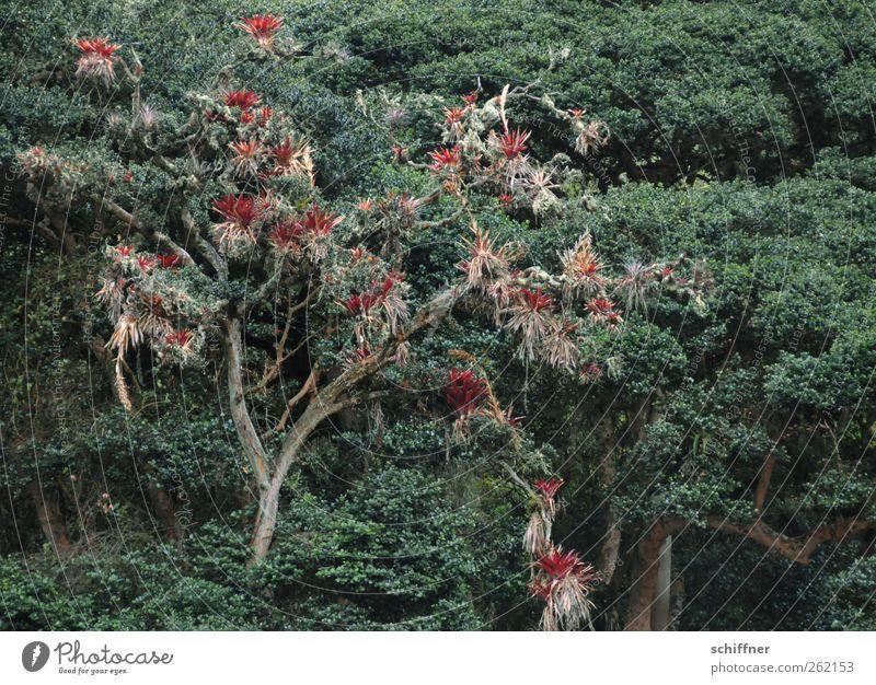 Baum ist besser als Topf Natur grün rot Pflanze Tier Wald Urwald exotisch Kaktus Grünpflanze Laubbaum Unterholz Topfpflanze Nebelwald Schmarotzer