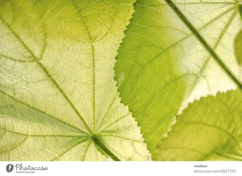 Zimmerlinde Pflanze Blatt Grünpflanze exotisch hell grün Blattadern Stengel Farbfoto Innenaufnahme Muster Strukturen & Formen Textfreiraum links