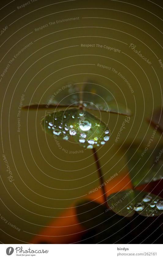 Herzklee Natur grün Pflanze Blatt Glück Wassertropfen ästhetisch deutlich Tau Kleeblatt Topfpflanze herzförmig