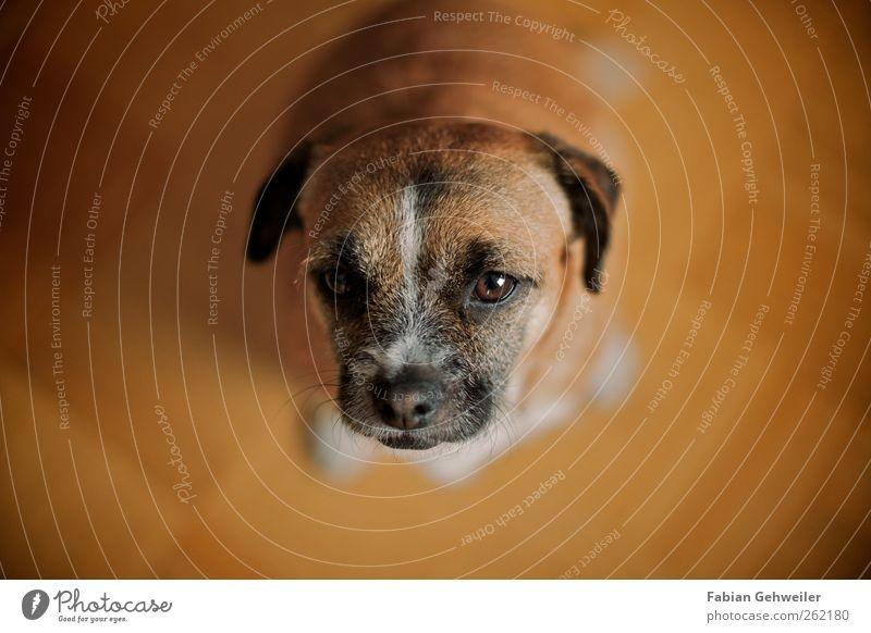 Look, I've got a treat for you! Haustier Hund 1 Tier Tierliebe Treue betteln Farbfoto Innenaufnahme Schwache Tiefenschärfe Blick