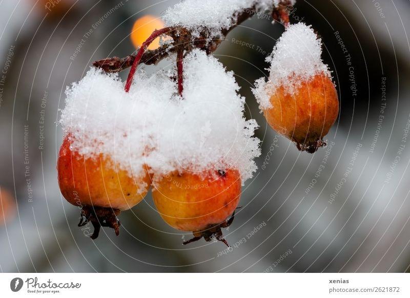 Zieräpfel mit Schneehaube weiß Baum Winter kalt klein orange Frucht frisch Apfel