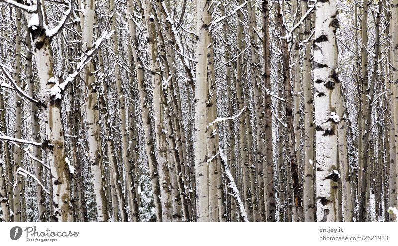 Walddichte Natur Landschaft Pflanze Winter Baum Baumstamm Espe Baumrinde kalt weiß Klima nachhaltig Netzwerk Teamwork Umweltschutz Wachstum Zusammenhalt
