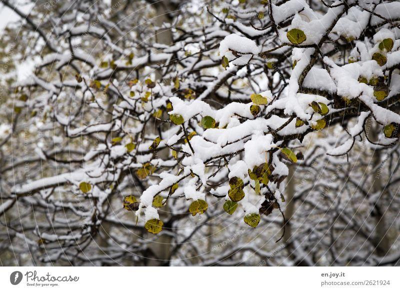 Verwandlung | von grün zu weiß Natur Landschaft Pflanze Winter Schnee Baum Ast Zweige u. Äste Blatt Espe Birke Wald kalt Klima Wandel & Veränderung Herbst