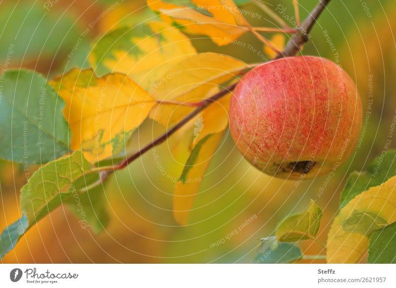 Herbst im Obstgarten Apfel Bioprodukte Frucht herbstlich Äpfel Herbstfärbung Vegetarische Ernährung Pastellton Oktober Garten Gartenobst Vegane Ernährung