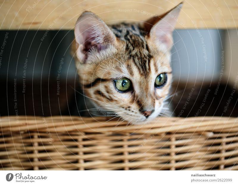 Bengal Katze im Korb Lifestyle Häusliches Leben Tier Haustier bengal bengal Katze 1 Tierjunges Flechtkorb Holz beobachten Erholung liegen warten frech