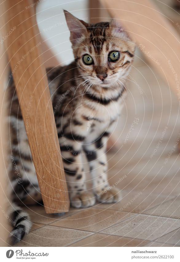 Bengalkatze elegant Wohnung Tier Katze bengalkatze 1 Tierjunges beobachten Blick sitzen schön natürlich Neugier niedlich Stimmung Freude Zufriedenheit Sympathie